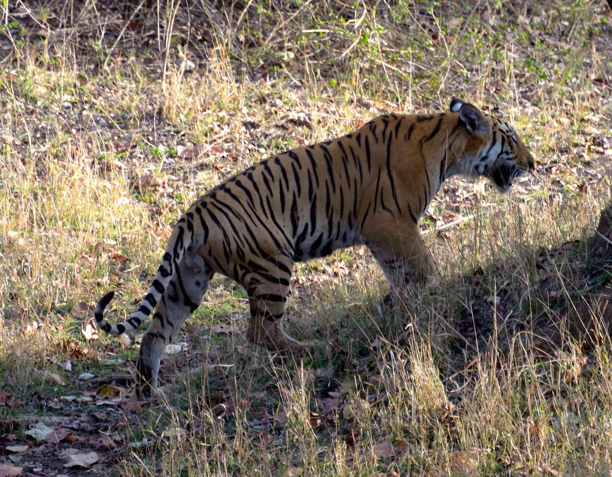 There is little information on the current status of wildlife outside protected areas. Even in those areas, knowledge is restricted mainly to the tiger. (Credit: Wikimedia Commons)