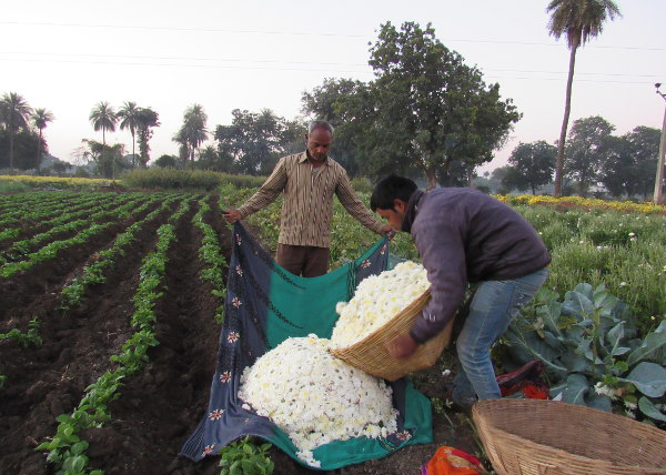 Keshu Singh Patel and his son, Kantilal, fill flowers into make-shift cloth bags at his farm in Mirjapur, Madhya Pradesh. The flowers sold at lower prices because of demonetisation. Image Credits: Shreya Shah/IndiaSpend