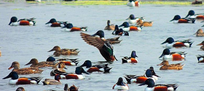 Najafgarh Drain Bird Sanctuary - Birds
