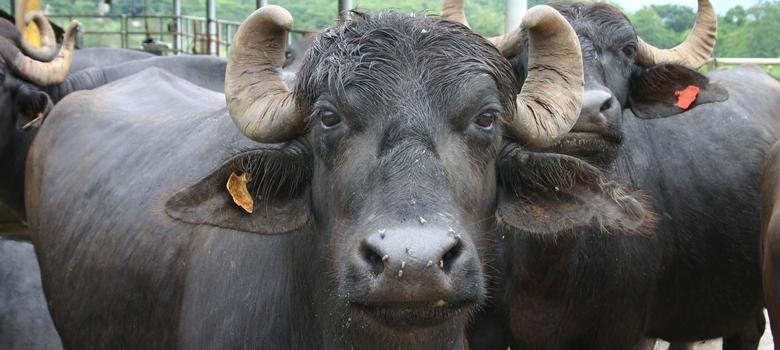 Why UP minister Azam Khan has a 50% chance of recovering his stolen buffaloes