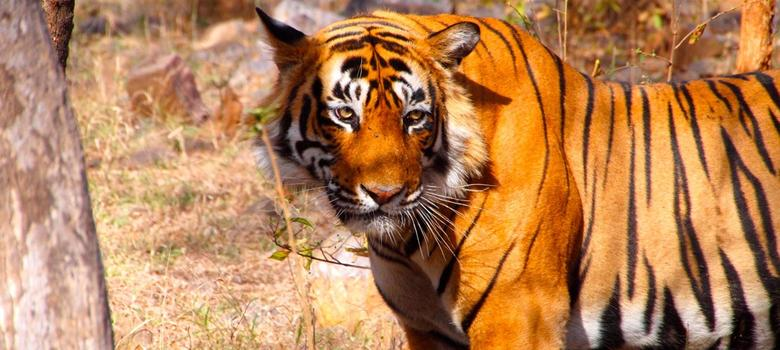 Can big data save the last of India's wild tigers?