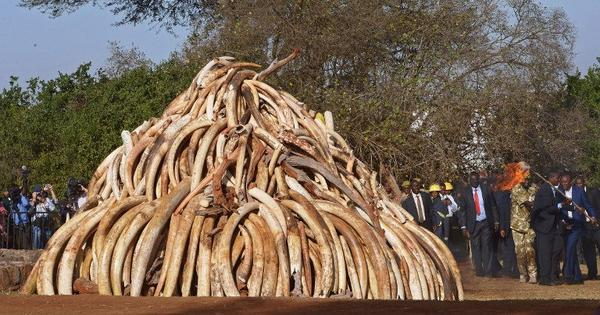Ivory and saving elephants: how corruption is undermining every aspect of conservation