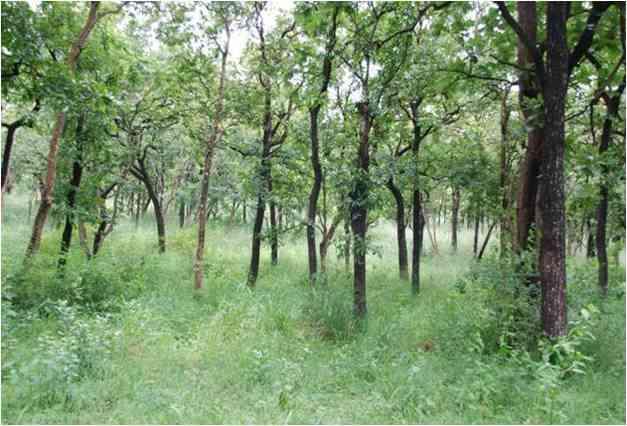 Grass dominated understory, in a mesic woodland savanna, Mudumalai Wildlife Sanctuary. Photo credit: Ed February.
