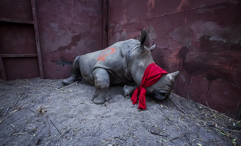 'Waiting for Freedom', by Neil Aldridge, from the series 'The Return of the Rhino'. A young white rhino, mildly drugged, waits blindfolded in an enclosure after a long journey from South Africa to Botswana, which is trying to rebuild its rhino population lost to poaching over the years. © Neil Aldridge, South Africa, Shortlist, Professional, Natural World & Wildlife (2018 Professional competition), 2018 Sony World Photography Awards.