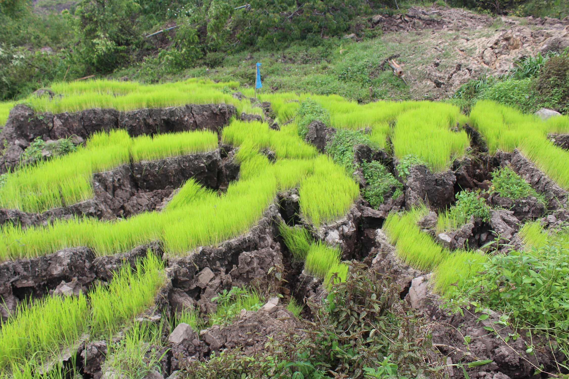 Angry cracks run split apart paddy fields.