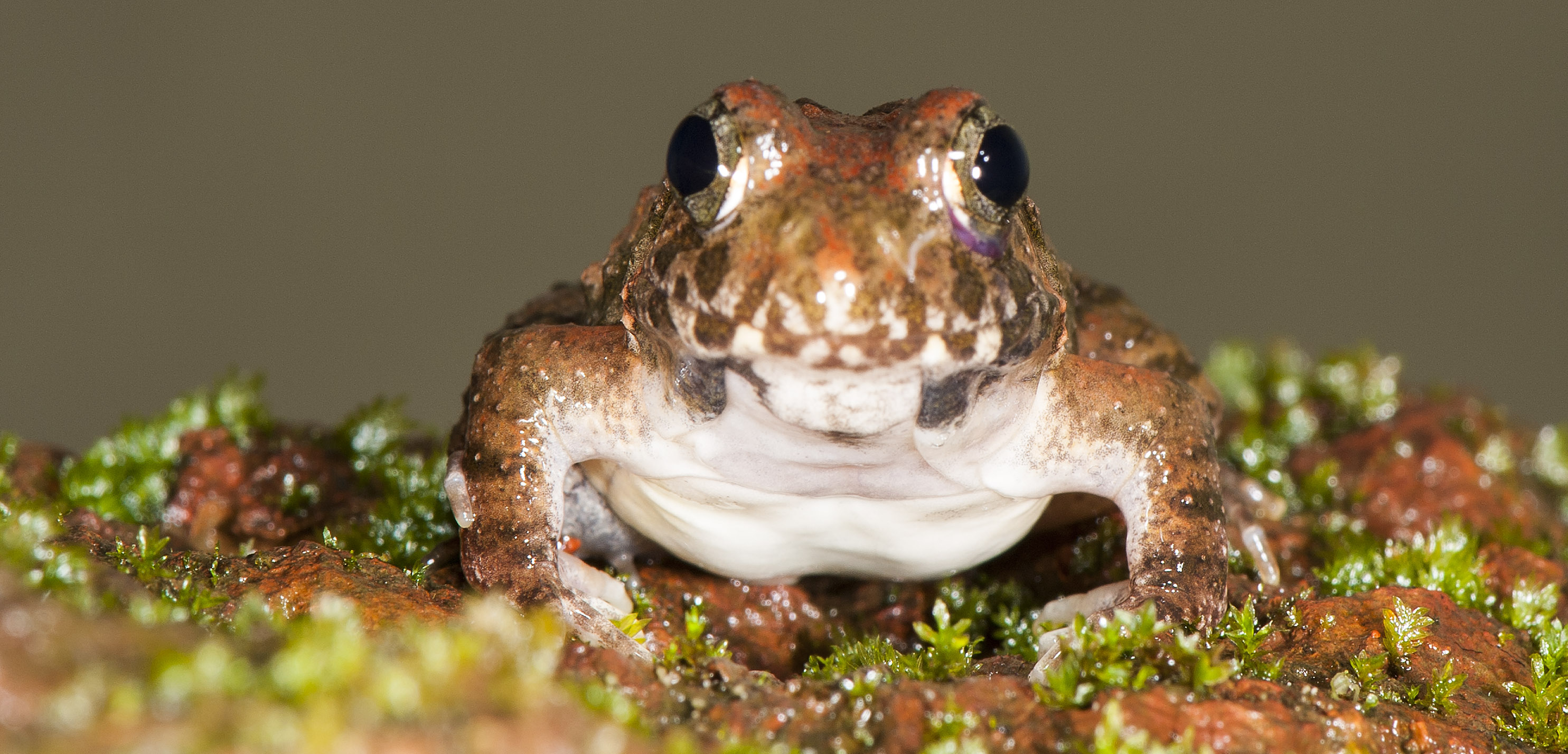 CEPF frog, named after the Critical Ecosystem Partnership Fund. (Photo credit: SD Biju).