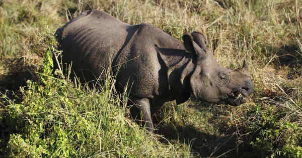 In Nepal, local communities and the government are working together to save the rhino
