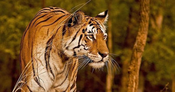 A Tamil Nadu reserve's success at increasing tiger numbers could be a lesson for the rest of India
