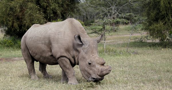 Swipe right on Tinder to help world's last northern white rhino keep his species alive