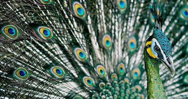 Scientists have discovered the genome sequence of the peacock. Here's why that matters
