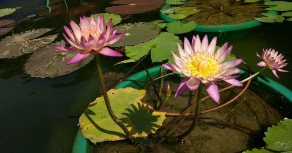Water Lilies This Summer Delhi S Urban Gardeners Share