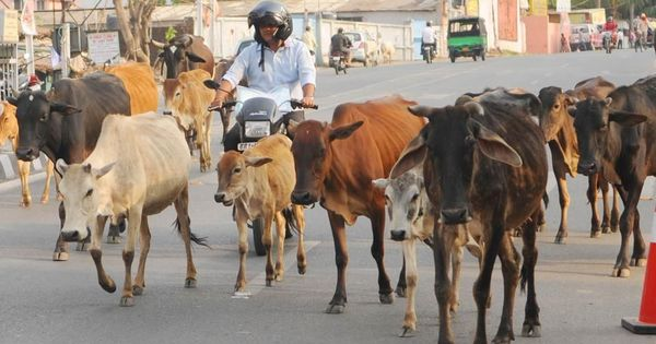 After making old cows unviable to maintain, Madhya Pradesh wants to force farmers to pay for them