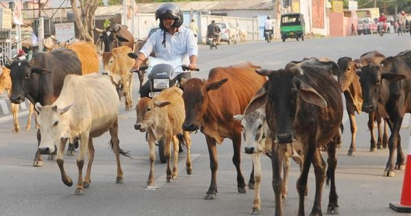 Abandoning cows could soon be a criminal offence in Madhya Pradesh: Report