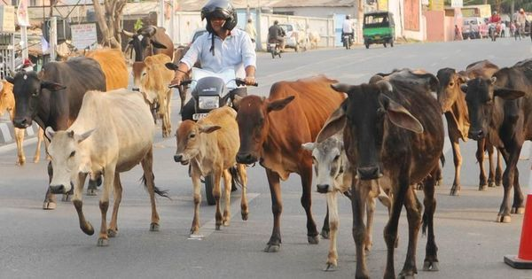 The Daily Fix: New cattle slaughter rules may end up giving cow vigilantes a new sense of impunity