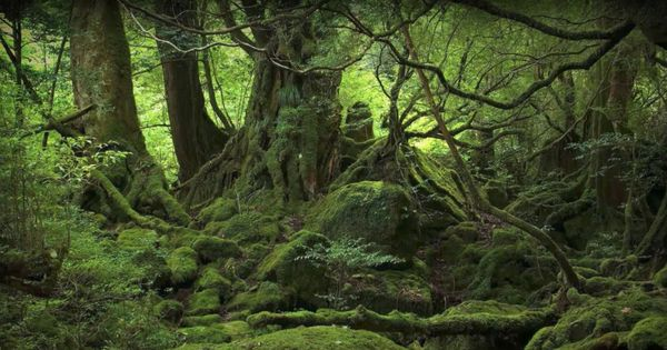 Watch: The 'suicide forest' in Japan is as eerie as it looks