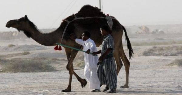 Watch: Camels stranded at the Saudi-Qatar border finally reunited with their owners