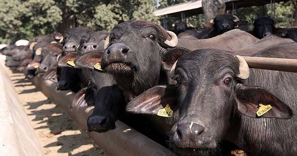Rules that banned sale of cattle for slaughter in open markets will be revised – but not immediately