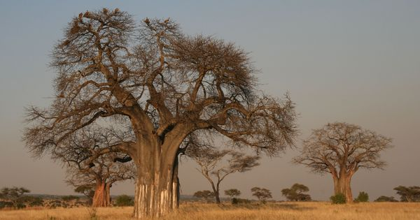 A green suggestion for India's political leaders: Plant baobabs instead of building statues