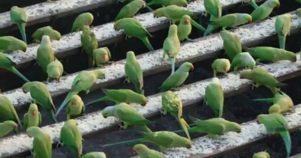 Watch: He's called India's 'Birdman' and he feeds 4,000 parrots every single day