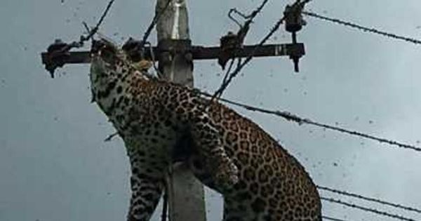 Leopard found electrocuted atop pole in Telangana, autopsy rules out poaching
