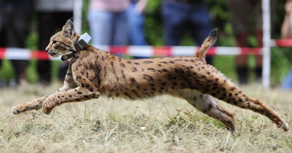 Lynx cat species may be reintroduced in the United Kingdom after absence of 1,300 years
