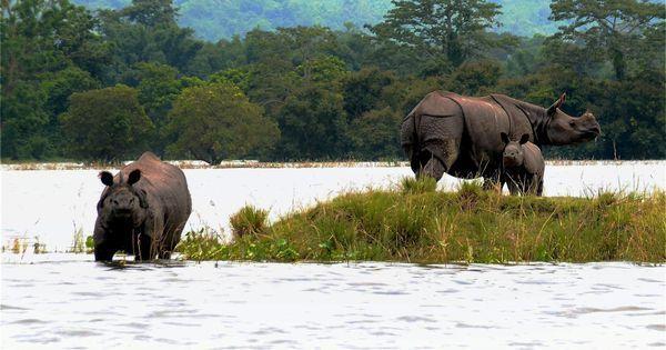 Three rhinos at Kaziranga National Park killed by poachers in 48 hours