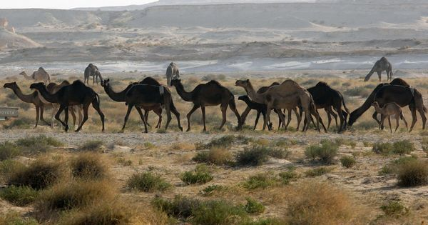 Watch: How India helped Australia end up with the world's largest population of Arabian camels