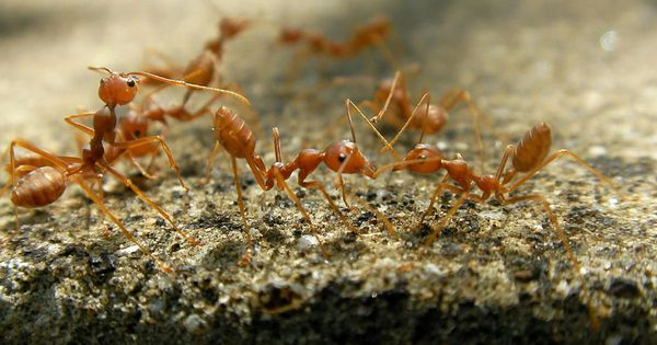 How do fire ants form amazing towers and rafts without a master plan?