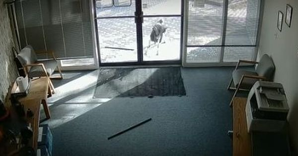 Watch this goat break through the glass doors of an office in Colorado, USA (and wonder why)