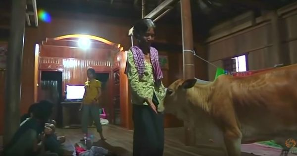 Watch: A Cambodian woman has married a calf she believes is her husband, reincarnated