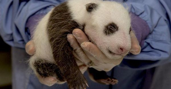 Video: Being a panda mommy is a real job, and it pays surprisingly well