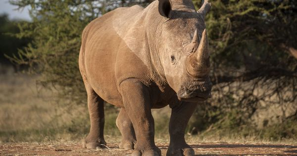A tranquiliser shortage is holding back rescue and rehabilitation of rhinos in India