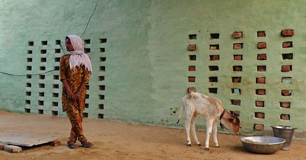 Gau raksha? What India's cattle really need is more fodder to prevent them from starving