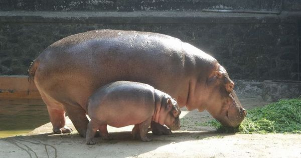 A pregnant hippo, a constipated rhino and a team in blue: The medical wing of Mumbai's Byculla zoo