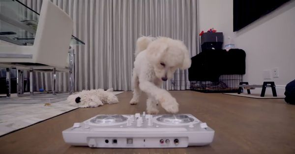 Watch: Meet doggie DJ Mini Matt, a maltese-poodle who mixes music and plays the keyboard