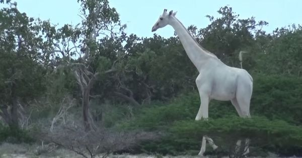 Watch these rare white giraffes filmed for the first time by conservationists