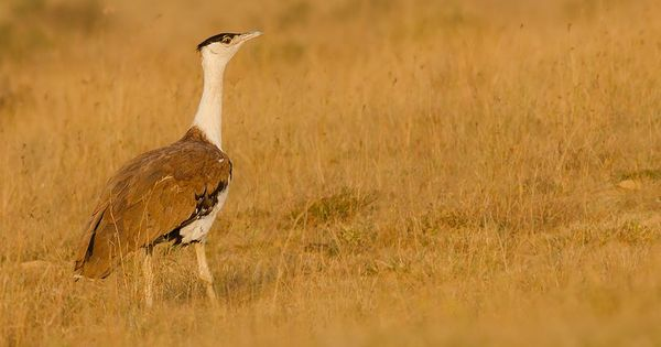 Count of Great Indian Bustard has gone up from 11 to 31 in Rajasthan this year