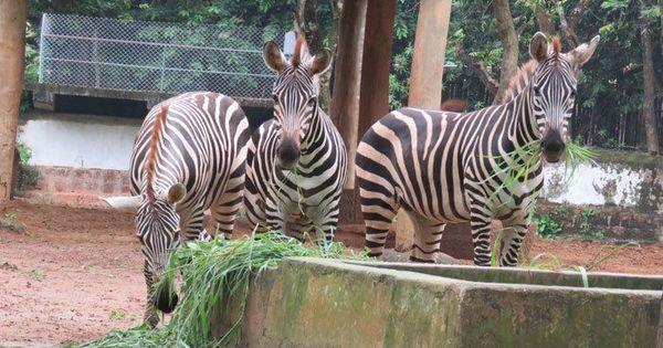 Odisha: Sole zebra at Nandankanan Zoological Park found dead