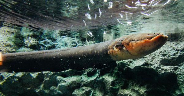 How much of a shock can an electric eel deliver? A scientist just found out first-hand