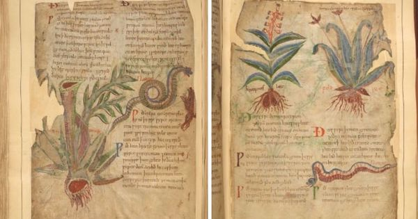 An ancient Anglo-Saxon book of plants has a cure for the