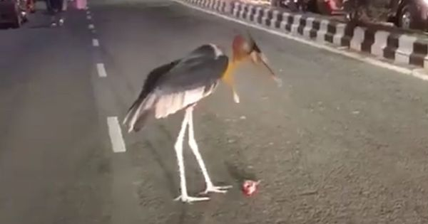 Watch: When a large (and, ironically, endangered) bird halted traffic on a busy road in Guwahati
