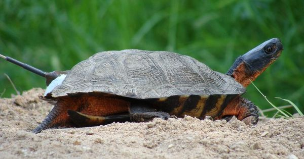 The illegal turtle trade is another reminder why scientists must keep secrets
