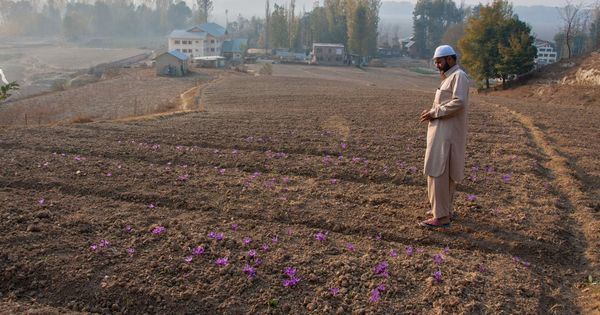 Kashmir Saffron Farmers Facing A Dry Spell And Lacking