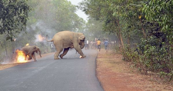 A picture with an elephant calf ablaze, fleeing a mob, wins best wildlife photograph award