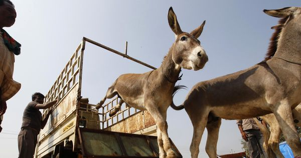 Watch: UP police release donkeys four days after detaining them for eating expensive plants