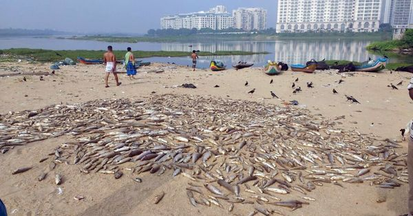 'This water has poison': In Chennai, thousands of dead fish wash up on shore of Adyar estuary