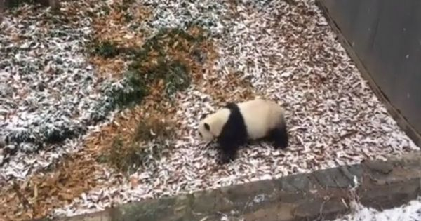 Watch giant panda Mei Xiang teach us how to celebrate the first snowfall of the season