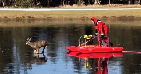 A firefighter in a red suit rescued a deer stuck in the middle of a frozen pond with a sled. Watch