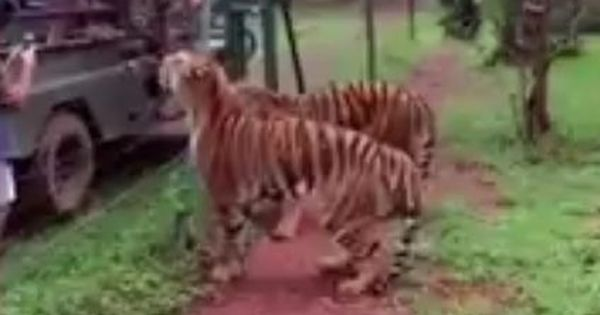 Watch: Have you ever seen a tiger leaping twelve feet in the air? It is a magnificent sight