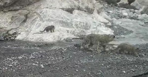 Caught on camera: Beautiful sighting of a mother snow leopard helping her three cubs cross a river